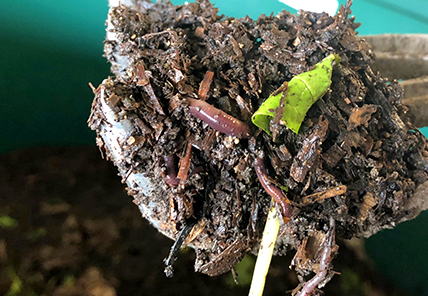 UD composting worms